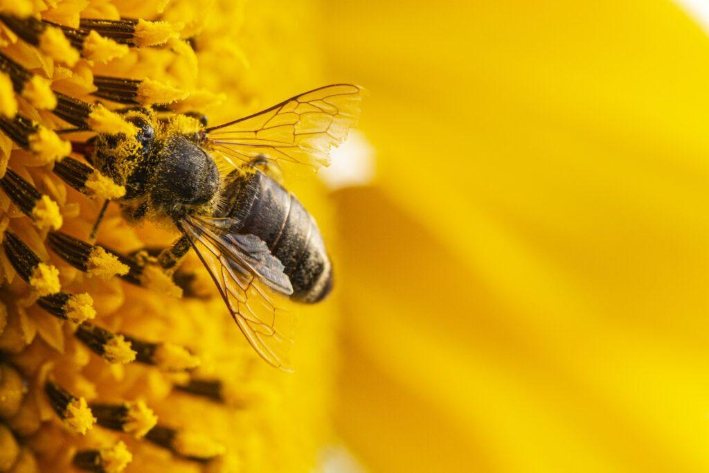 lebah penghasil propolis